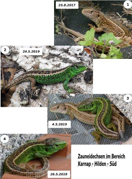 Zauneidechsen - Reptil  des Jahres - bedroht