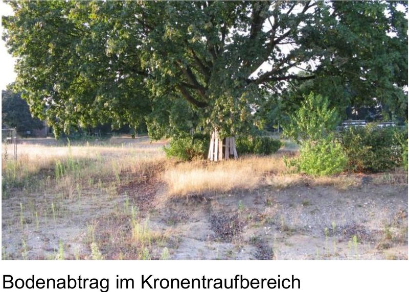 3 Bäume sollen trotz Bebauung erhalten bleiben, aber durch den Bodenabtrag im Kronenbereich leidet dieser Baum extrem unter dem aktuellen Hitzestress