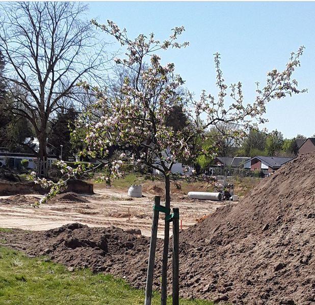 Das Apfelbäumchen der Hoffnung in Hilden blüht inmitten einer Bauwüste, wo die Erdarbeiten zur Vorbereitung einer massiven Bebauung auf einem ehemaligen Schulgelände stattfindeng