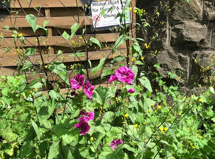 An dem Bahndamm in Hilden sind die Pflanzen und Blüten von Malve und Co schon deutlich über einen Meter hoch gewachsen und bieten Bienen und andere Insekten Nahrung  in Hülle und Fülle
